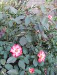 Garden Club Roses 1
