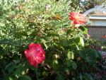 Garden Club Roses 2