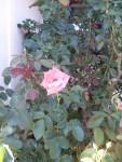 Garden Club Roses 3